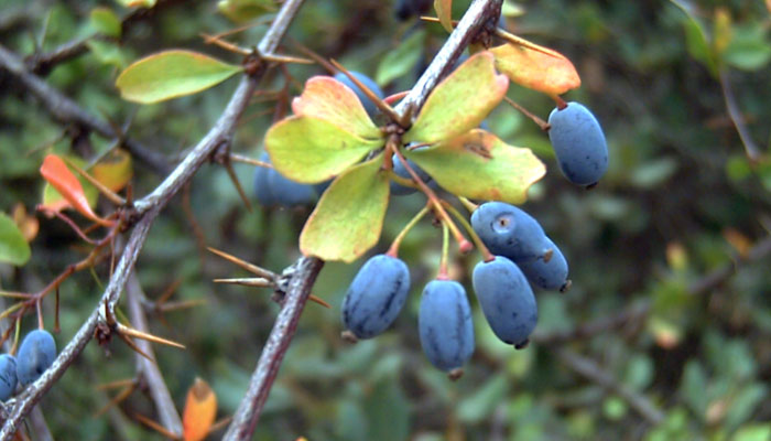 Berberine An Ancient Remedy For Modern Health Issues
